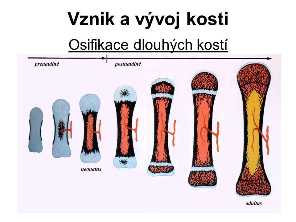 Osifikace dlouhých kostí