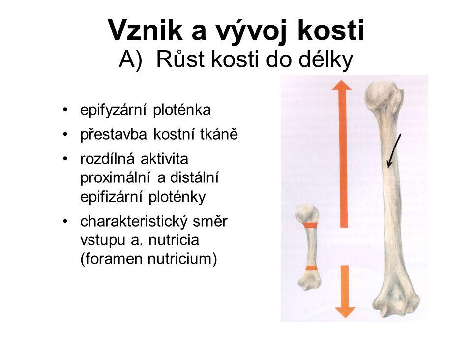 Vznik a vývoj kosti A) Růst kosti do délky epifyzární ploténka