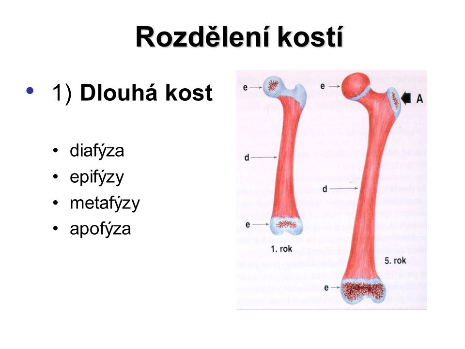 Rozdělení kostí 1) Dlouhá kost diafýza epifýzy metafýzy apofýza