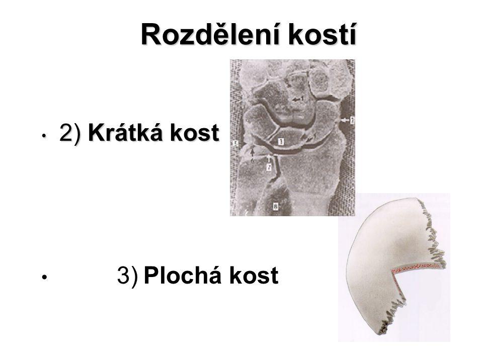 Rozdělení kostí 2) Krátká kost 3) Plochá kost