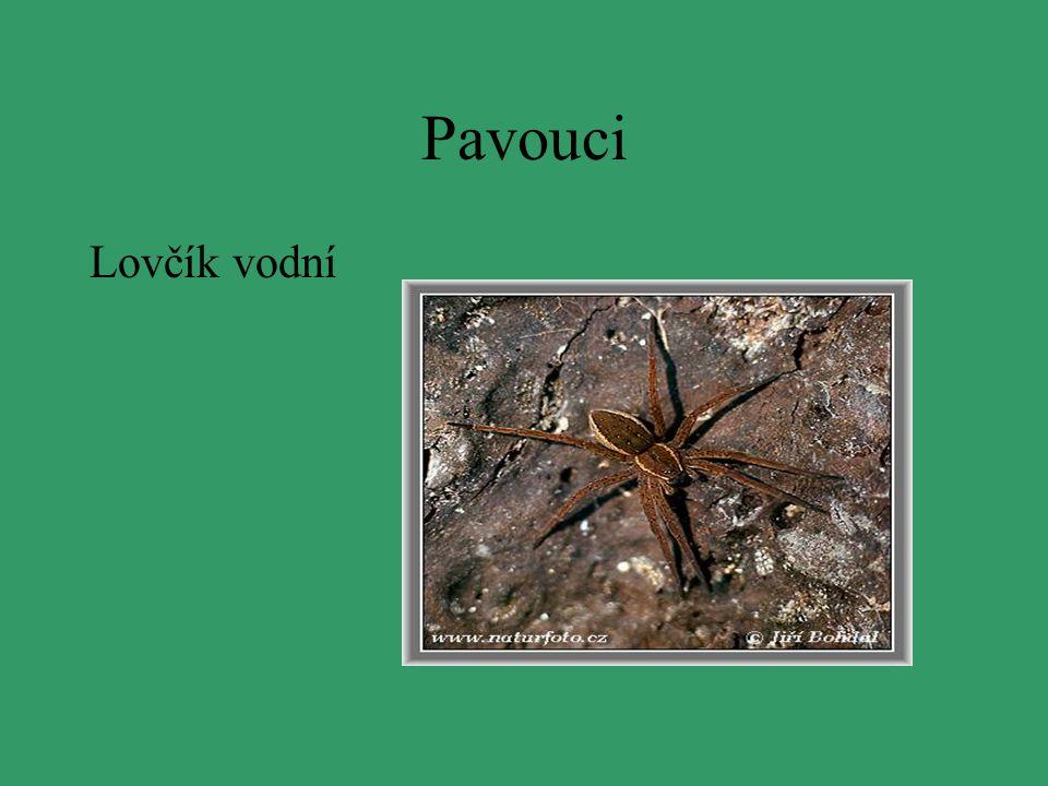 Pavouci Lovčík vodní