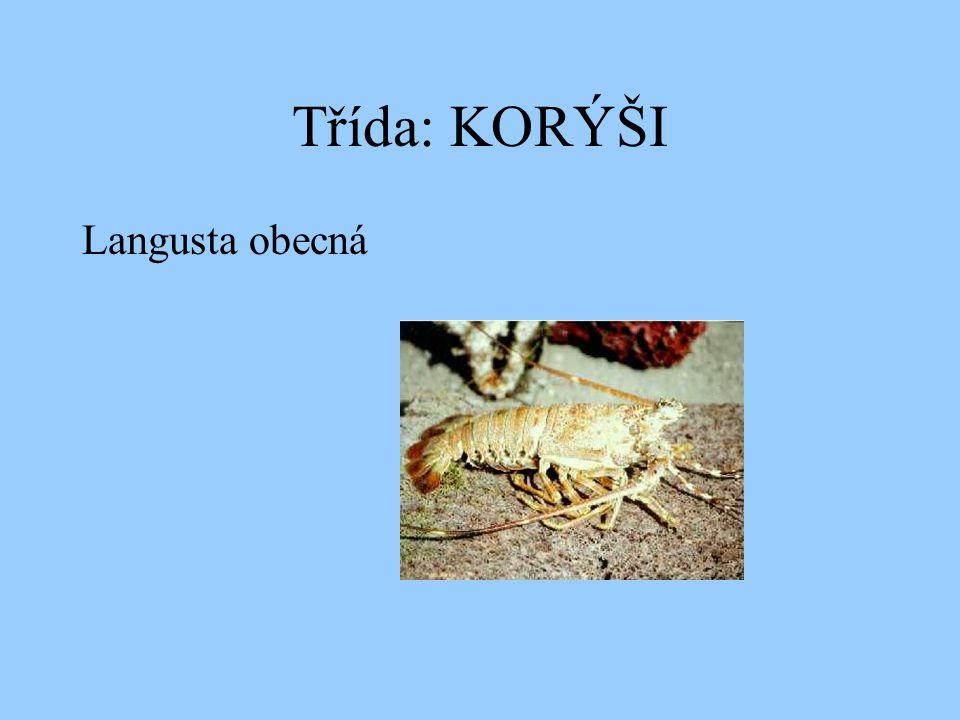 Třída: KORÝŠI Langusta obecná