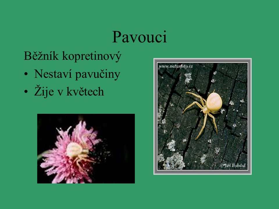 Pavouci Běžník kopretinový Nestaví pavučiny Žije v květech
