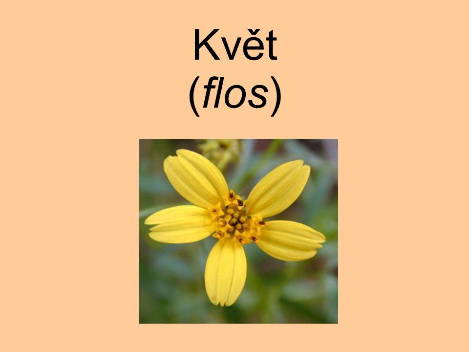 Květ (flos)