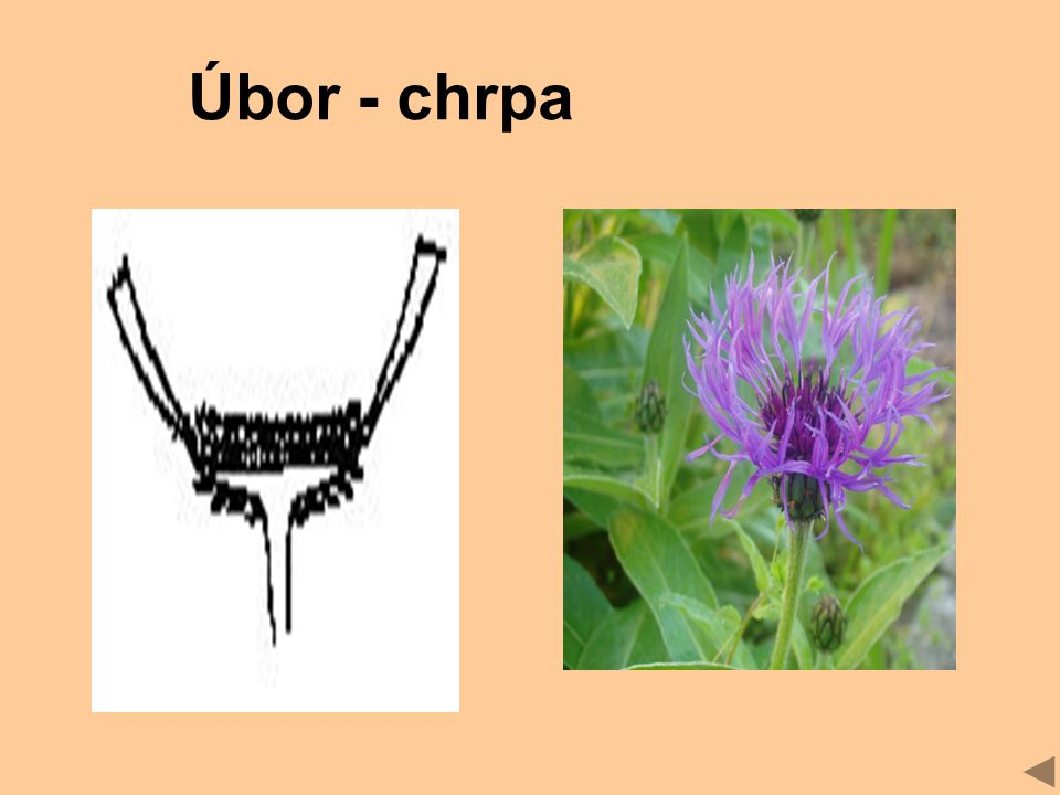 Úbor - chrpa
