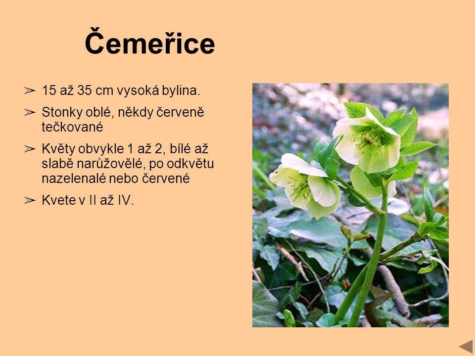 Čemeřice 15 až 35 cm vysoká bylina.