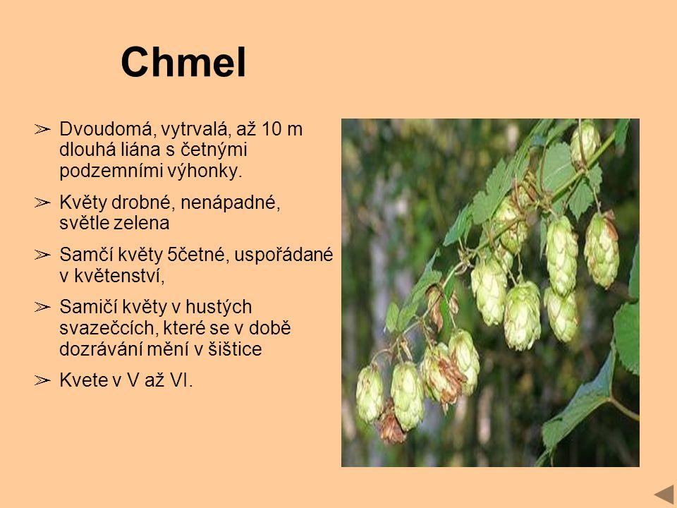 Chmel Dvoudomá, vytrvalá, až 10 m dlouhá liána s četnými podzemními výhonky. Květy drobné, nenápadné, světle zelena.