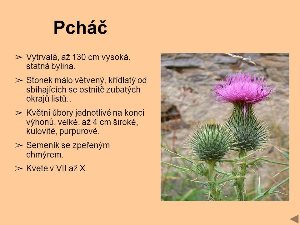 Pcháč Vytrvalá, až 130 cm vysoká, statná bylina.