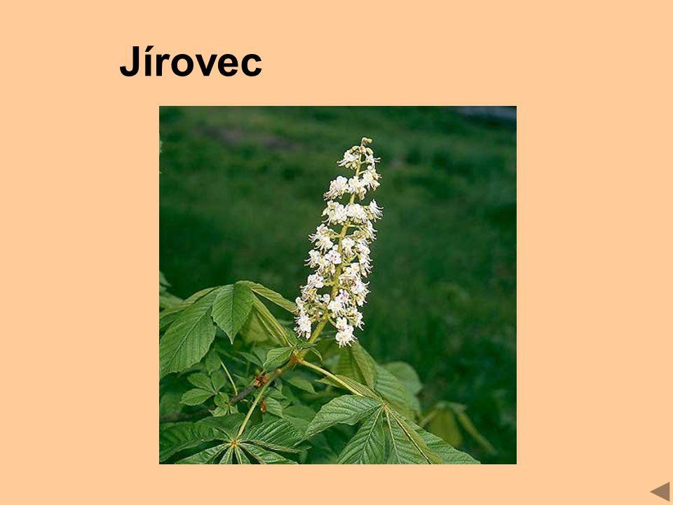 Jírovec
