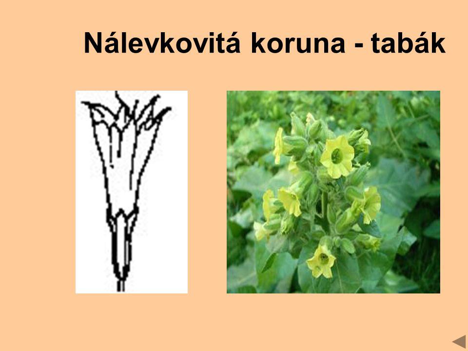 Nálevkovitá koruna - tabák