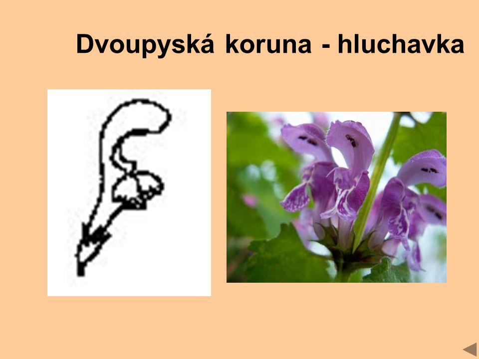Dvoupyská koruna - hluchavka