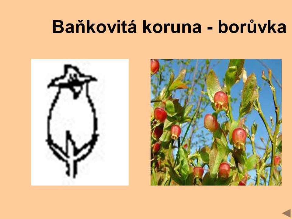 Baňkovitá koruna - borůvka