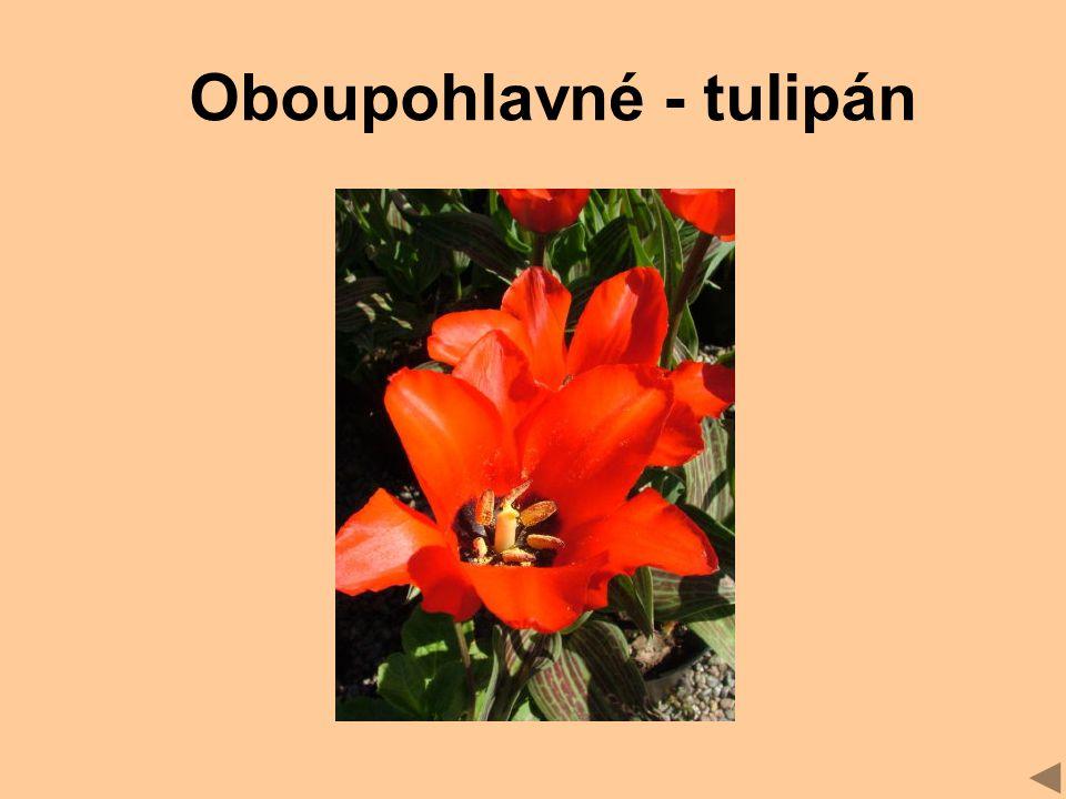 Oboupohlavné - tulipán