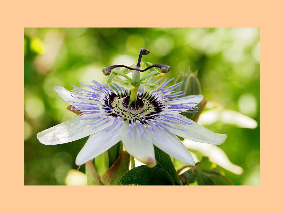 Jednotlivý květ mučenky