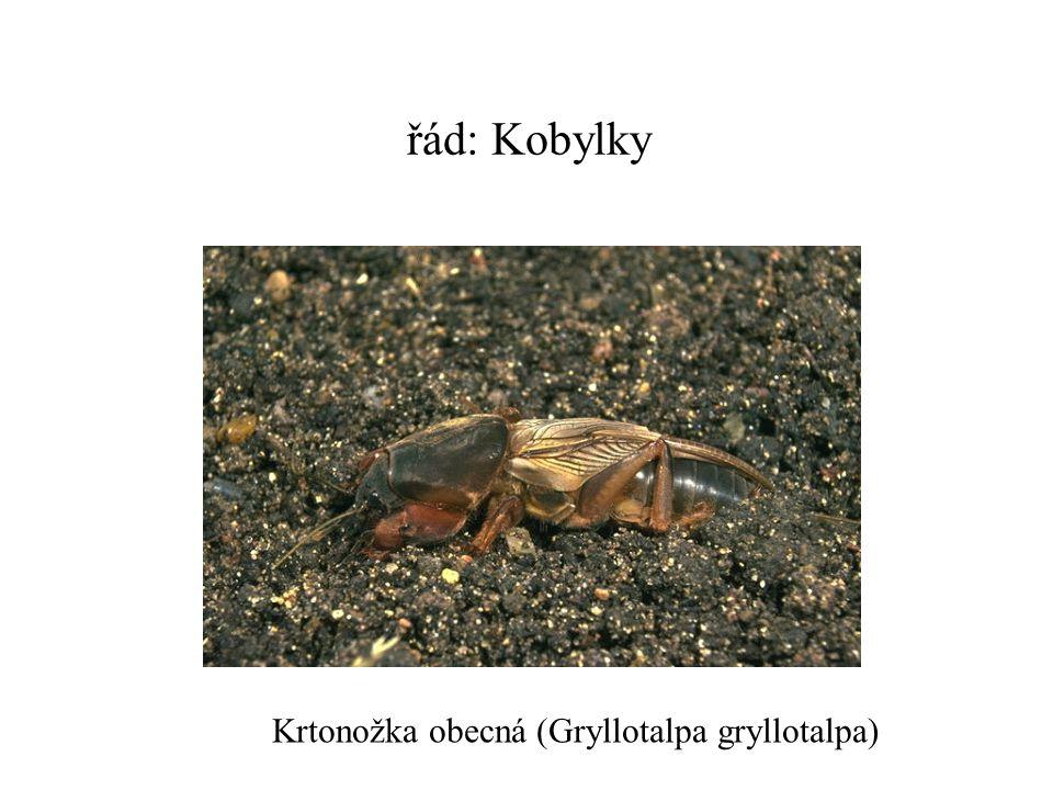 řád: Kobylky Krtonožka obecná (Gryllotalpa gryllotalpa)