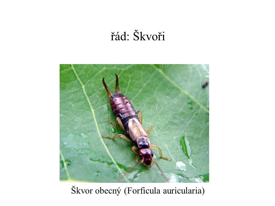 řád: Škvoři Škvor obecný (Forficula auricularia)