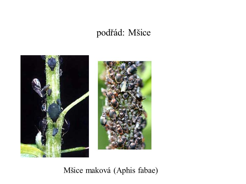 podřád: Mšice Mšice maková (Aphis fabae)