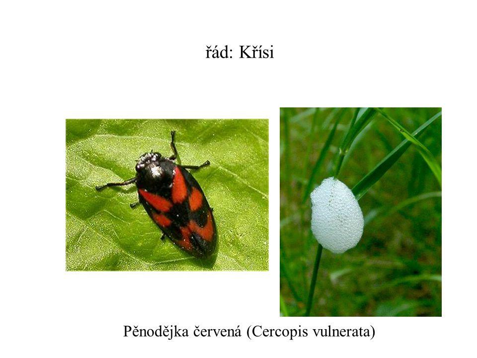 řád: Křísi Pěnodějka červená (Cercopis vulnerata)