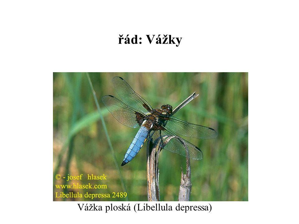 řád: Vážky Vážka ploská (Libellula depressa)