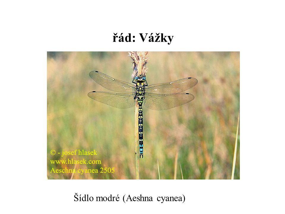 řád: Vážky Šídlo modré (Aeshna cyanea)