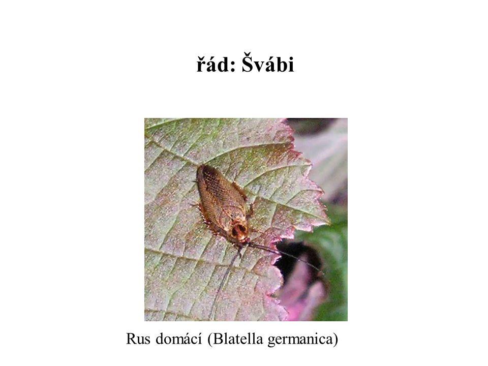 řád: Švábi Rus domácí (Blatella germanica)