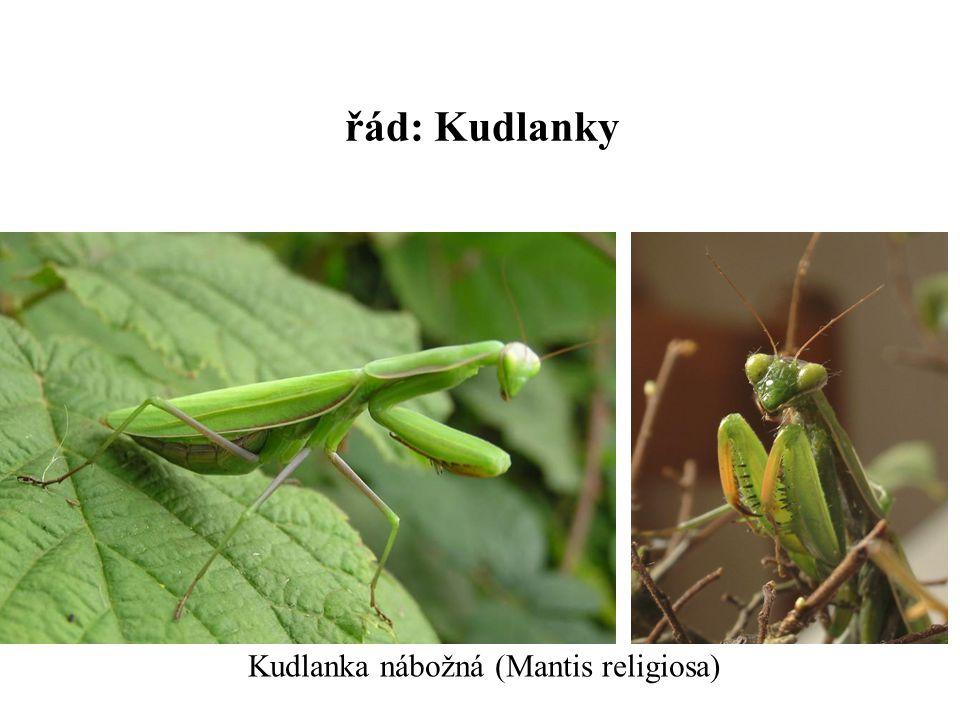 řád: Kudlanky Kudlanka nábožná (Mantis religiosa)