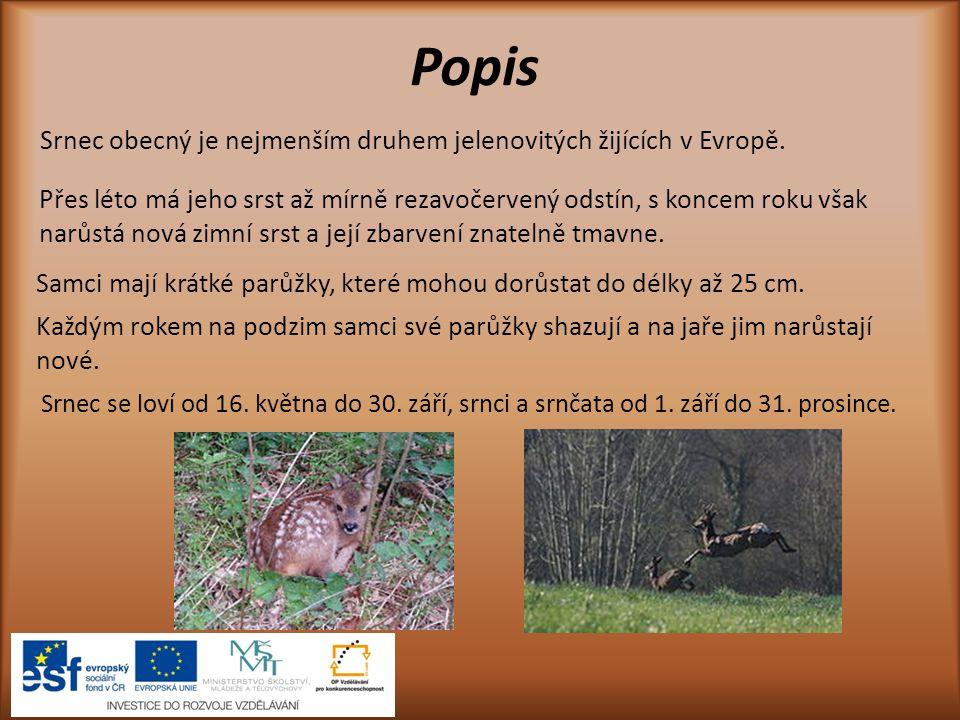 Popis Srnec obecný je nejmenším druhem jelenovitých žijících v Evropě.