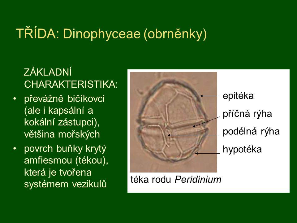 TŘÍDA: Dinophyceae (obrněnky)
