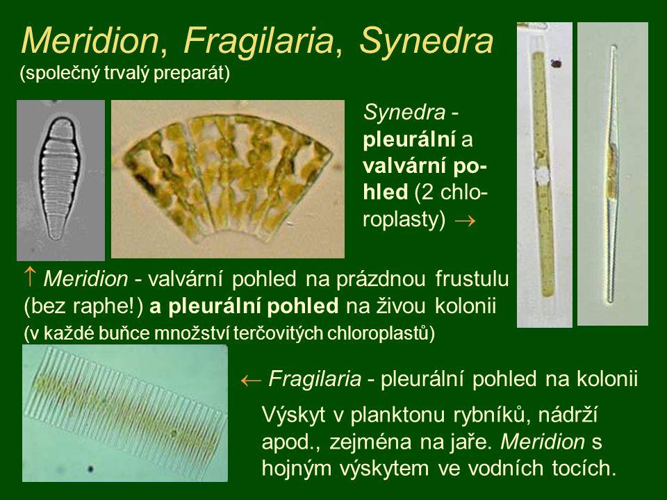 Meridion, Fragilaria, Synedra (společný trvalý preparát)