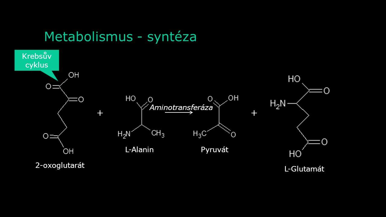 Metabolismus - syntéza