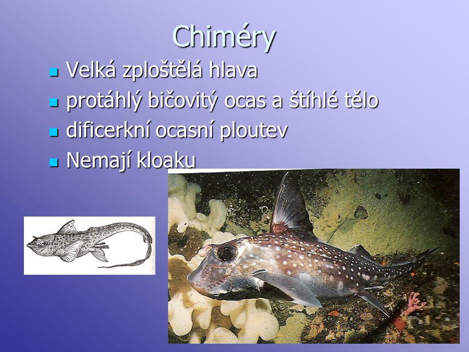 Chiméry Velká zploštělá hlava protáhlý bičovitý ocas a štíhlé tělo