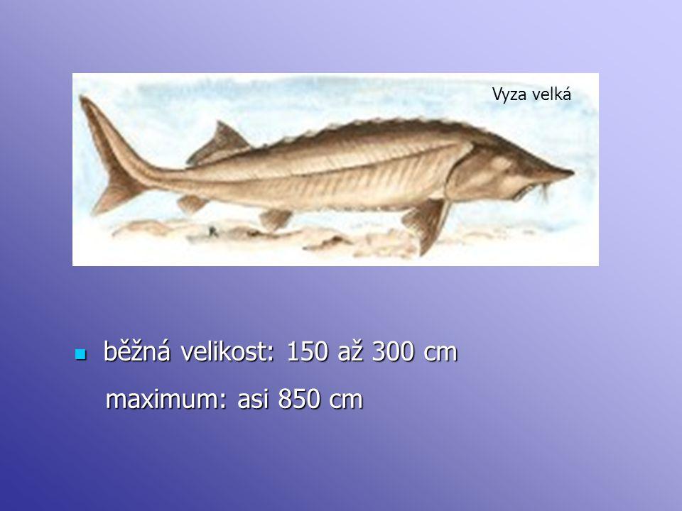 Vyza velká běžná velikost: 150 až 300 cm maximum: asi 850 cm
