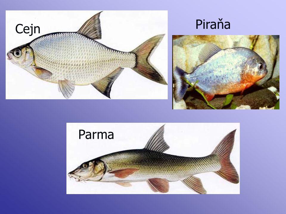 Piraňa Cejn Parma