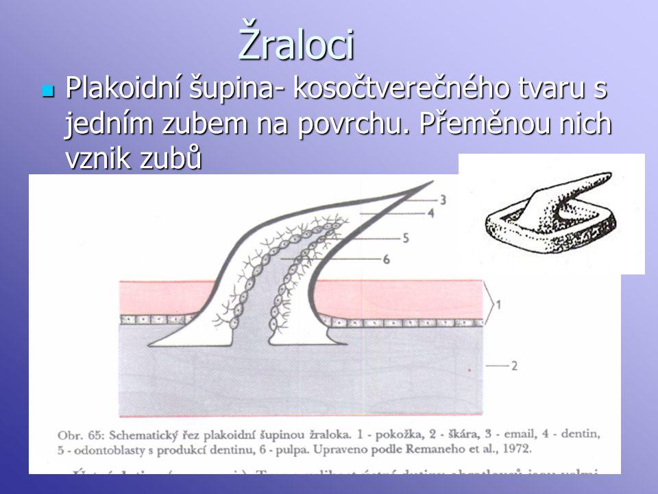 Žraloci Plakoidní šupina- kosočtverečného tvaru s jedním zubem na povrchu. Přeměnou nich vznik zubů
