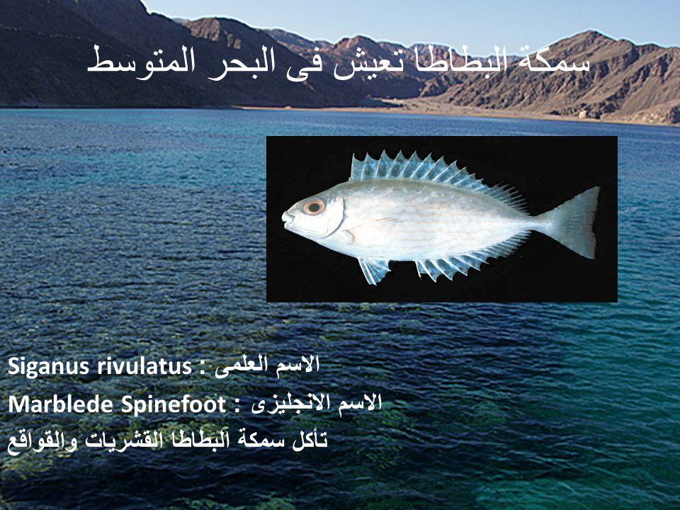 سمكة البطاطا تعيش فى البحر المتوسط