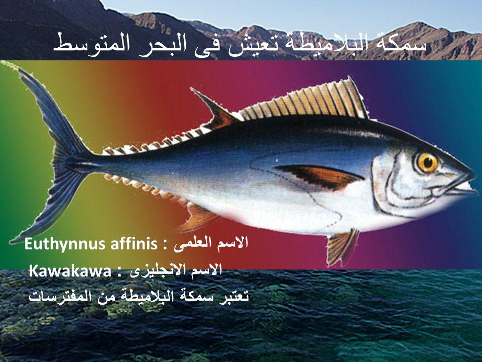 سمكة البلاميطة تعيش فى البحر المتوسط
