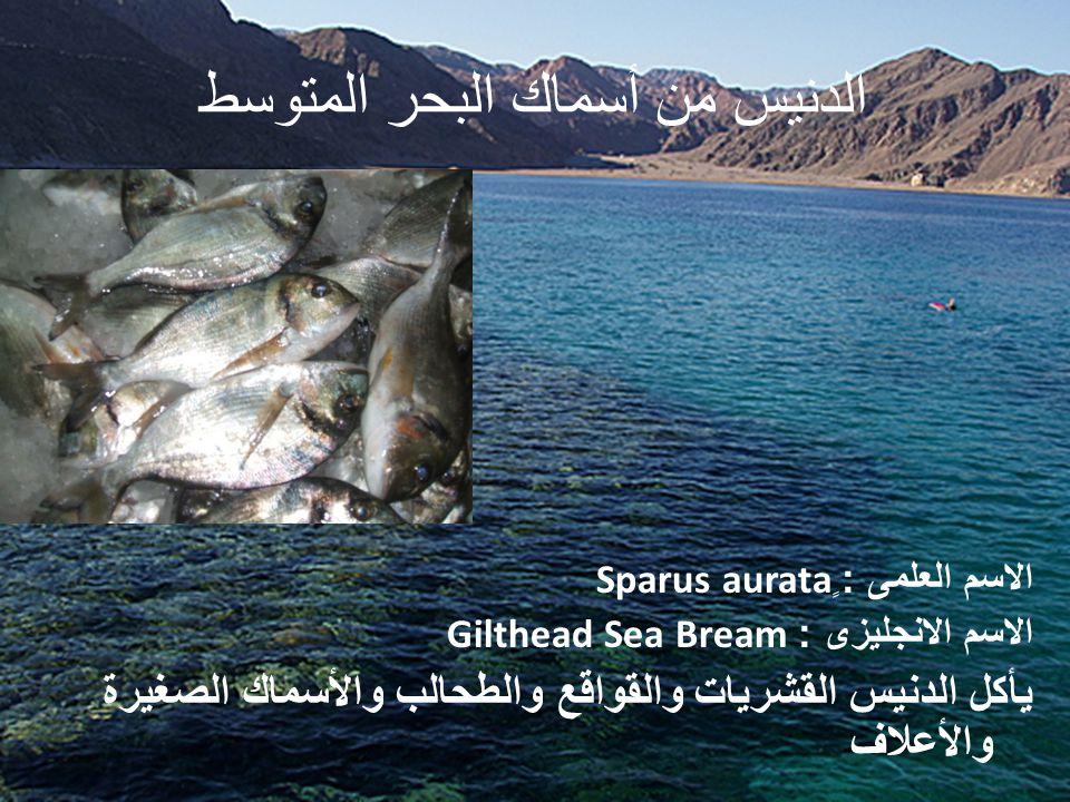 الدنيس من أسماك البحر المتوسط