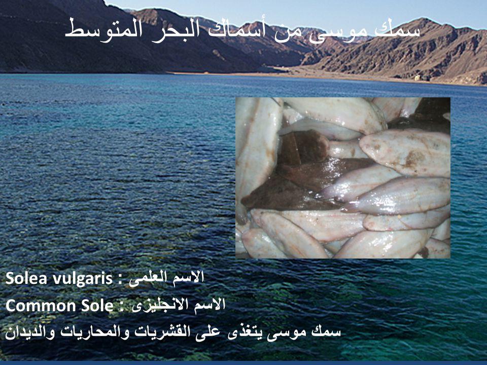 سمك موسى من أسماك البحر المتوسط