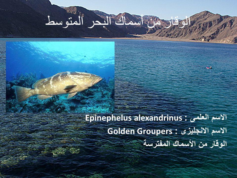 الوقار من أسماك البحر المتوسط