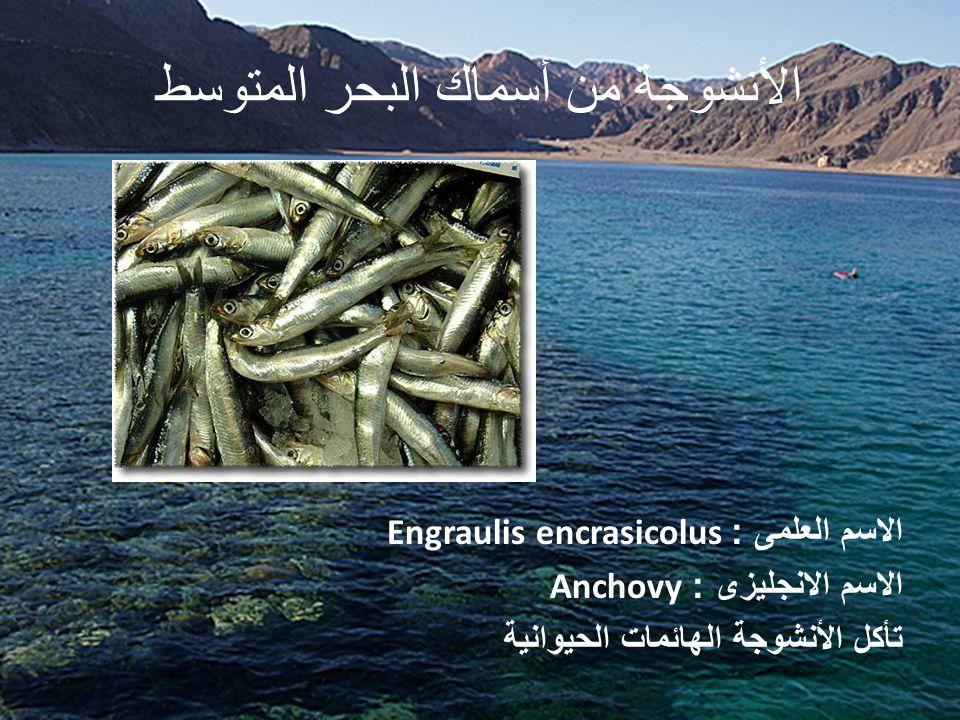 الأنشوجة من أسماك البحر المتوسط