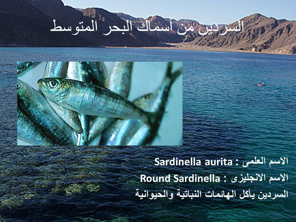 السردين من أسماك البحر المتوسط