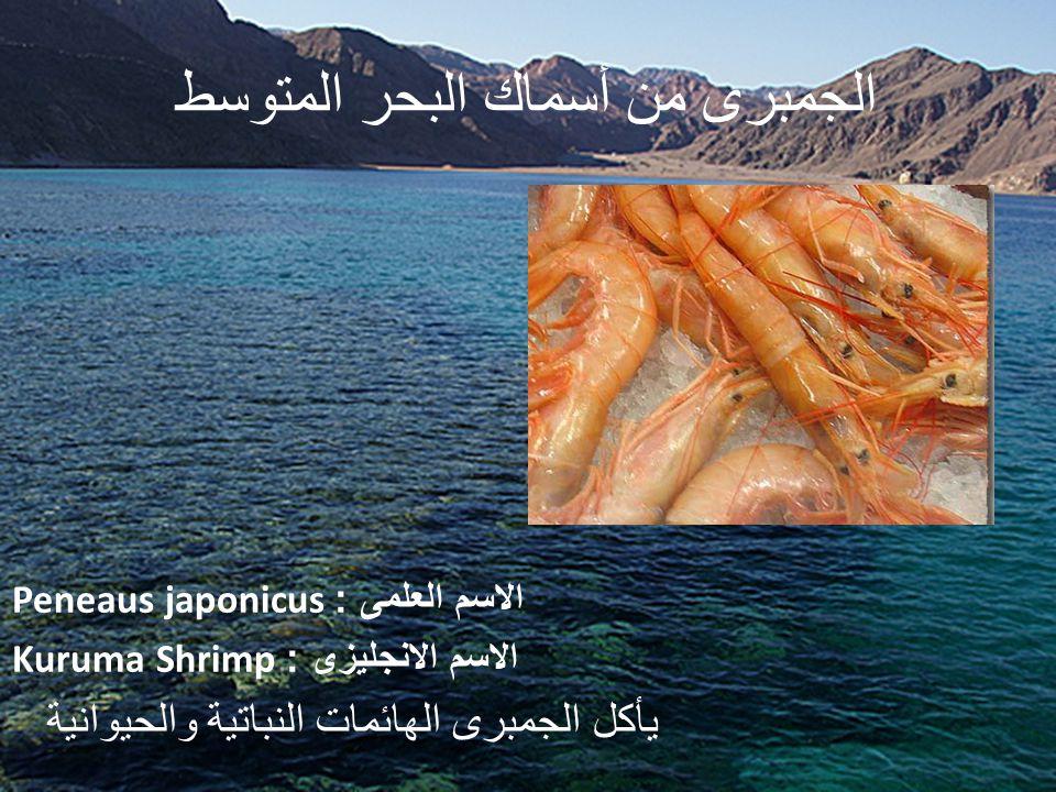 الجمبرى من أسماك البحر المتوسط