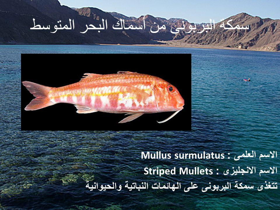 سمكة البربونى من أسماك البحر المتوسط