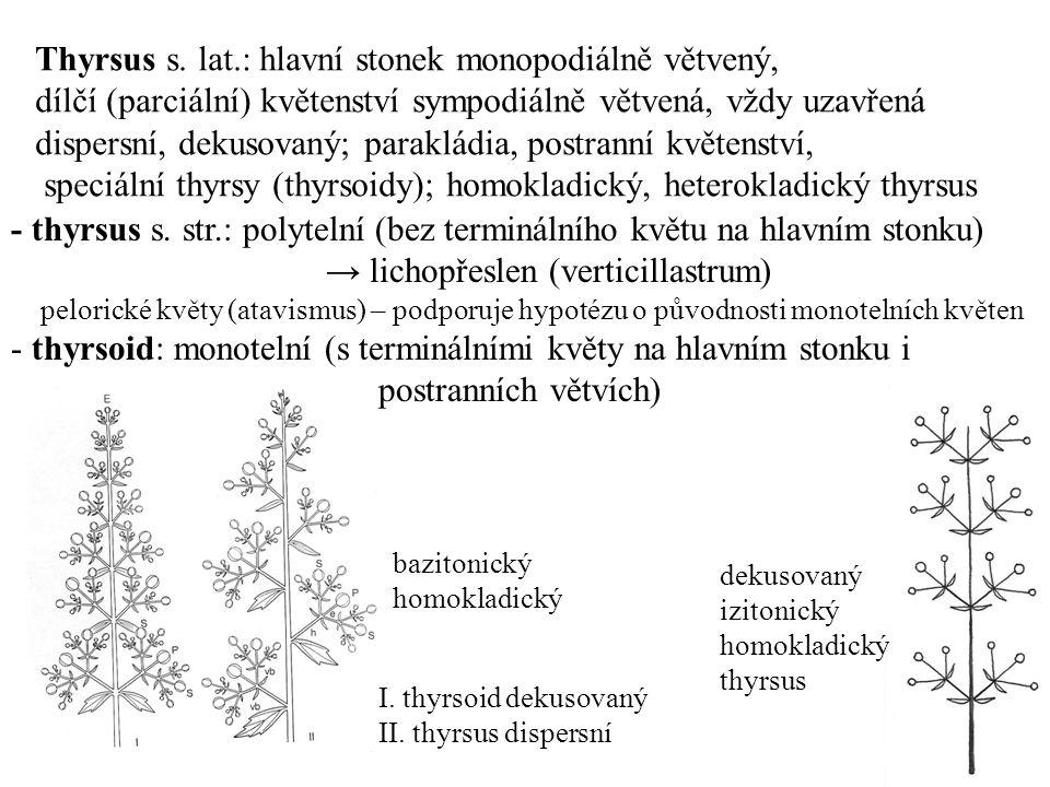 Thyrsus s. lat.: hlavní stonek monopodiálně větvený,