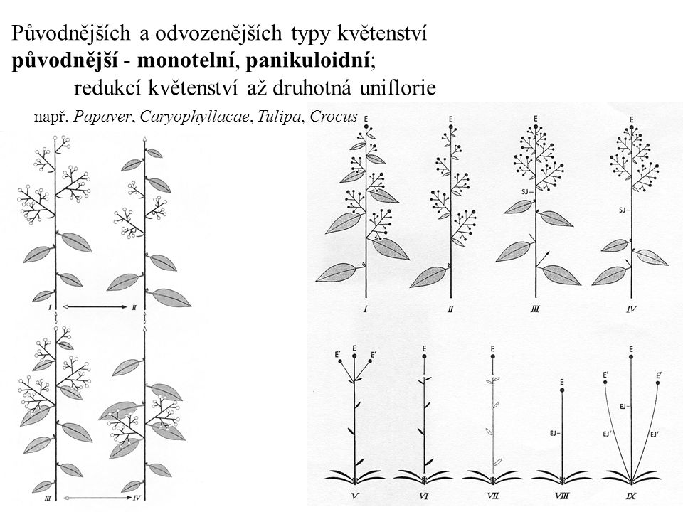 Původnějších a odvozenějších typy květenství