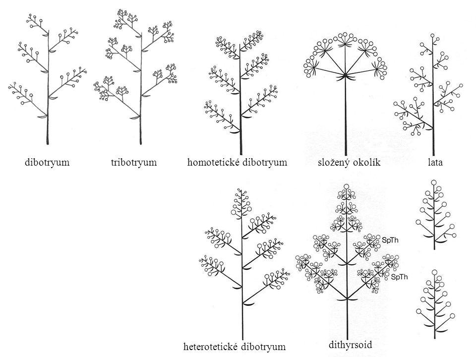 dibotryum dibotryum. tribotryum. homotetické dibotryum. složený okolík. lata. heterotetické dibotryum.