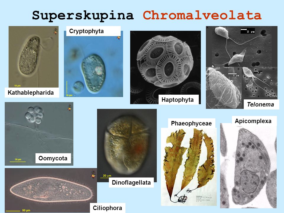 Superskupina Chromalveolata