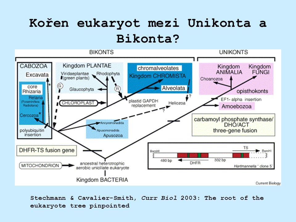 Kořen eukaryot mezi Unikonta a Bikonta