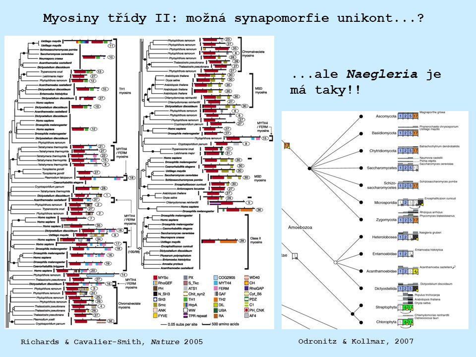 Myosiny třídy II: možná synapomorfie unikont...