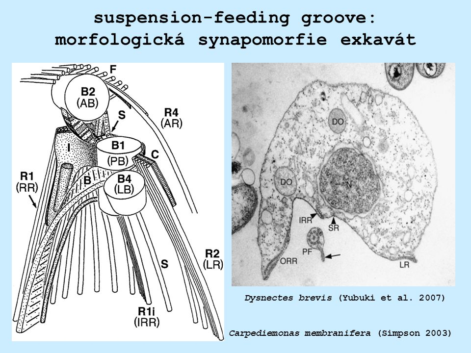 suspension-feeding groove: morfologická synapomorfie exkavát